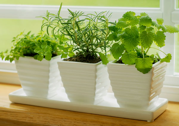 growing natural herbs